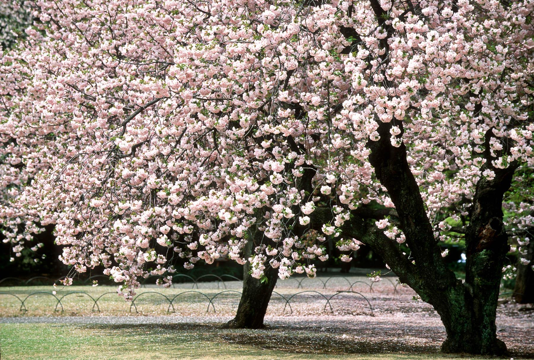Fioritura ciliegi viaggi - Ciliegio da giardino ...