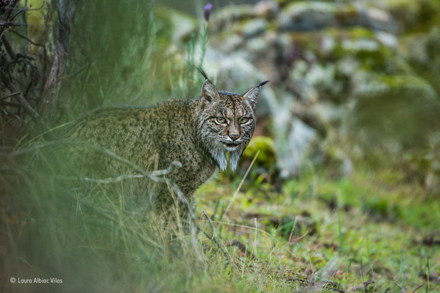 Glimpse-of-a-lynx-©-Laura-Albiac-Vilas-Wildlife-Photographer-of-the-Year