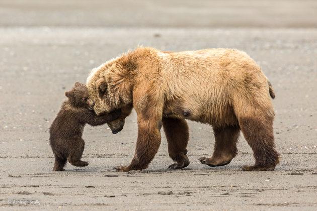 Bear-hug-©-Ashleigh-Scully-Wildlife-Photographer-of-the-Year