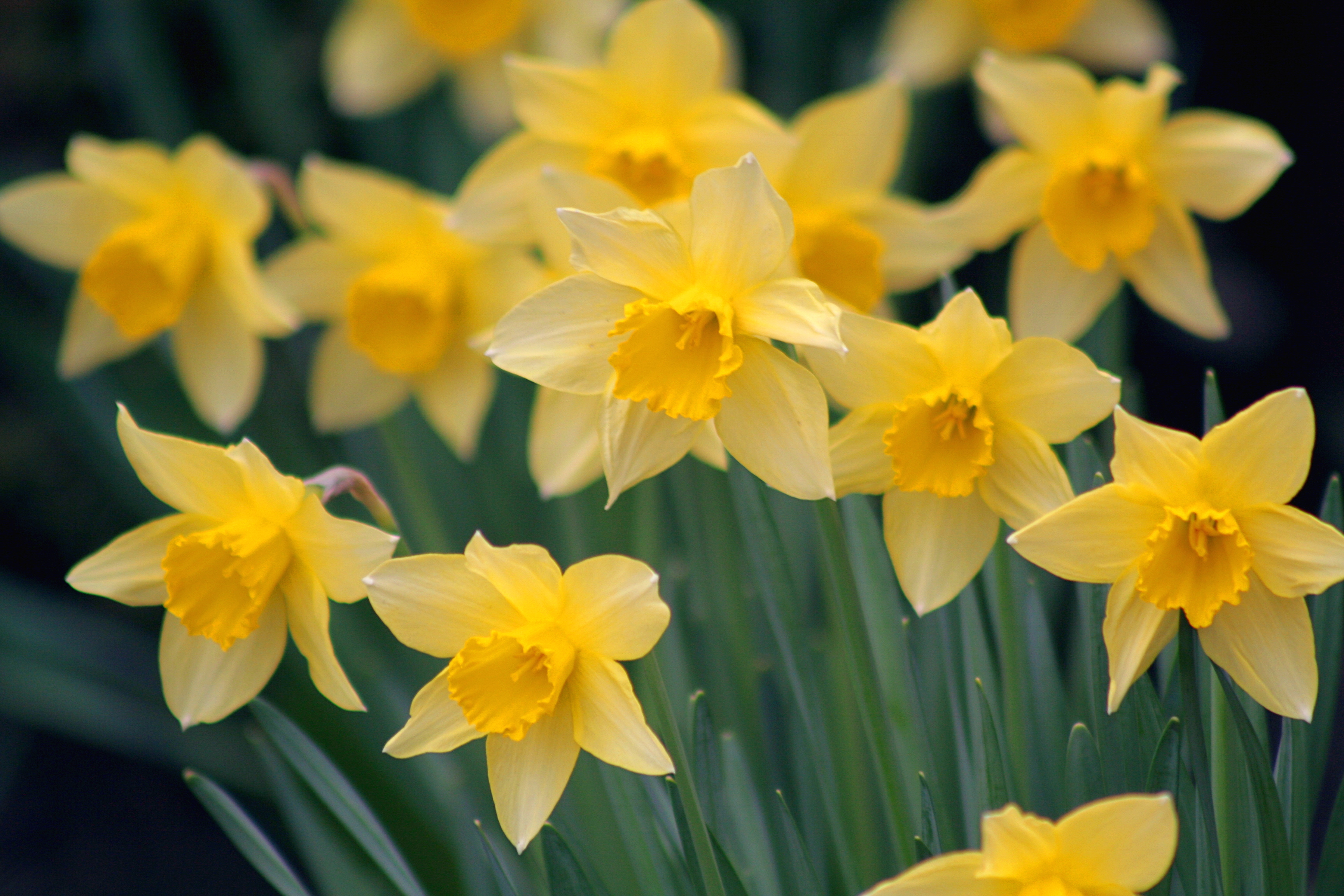 01_Massachusetts_Latitudes_Daffodils_Flickr