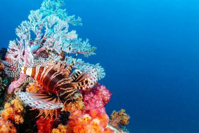 pesce_leone_coralli