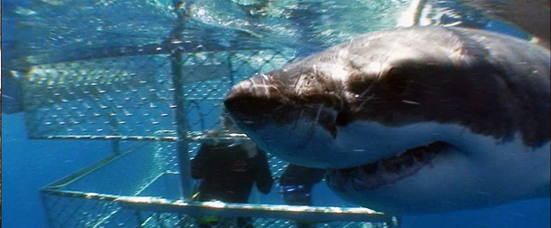 con i grandi squali bianchi a port lincoln, south australia