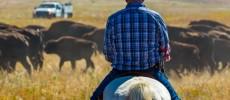 South Dakota. Il ritorno dei bisonti