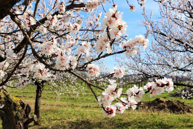 Risultati immagini per wachau fioritura degli albicocchi