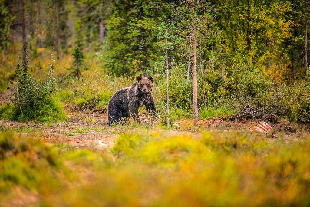 lapponia-svedese-orso-bruno