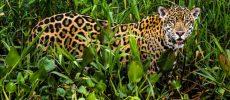 Pantanal il regno del giaguaro