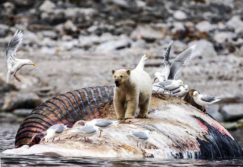 orso-polare-svalbard