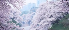 Ciliegi in fiore. Ecco la primavera di Tokyo