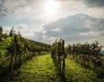 Friuli, nel Collio, degustando la terra di confine
