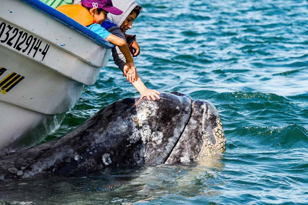 baja-california-balena-grigia