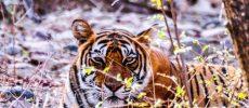 India. Tigre, sublime presenza