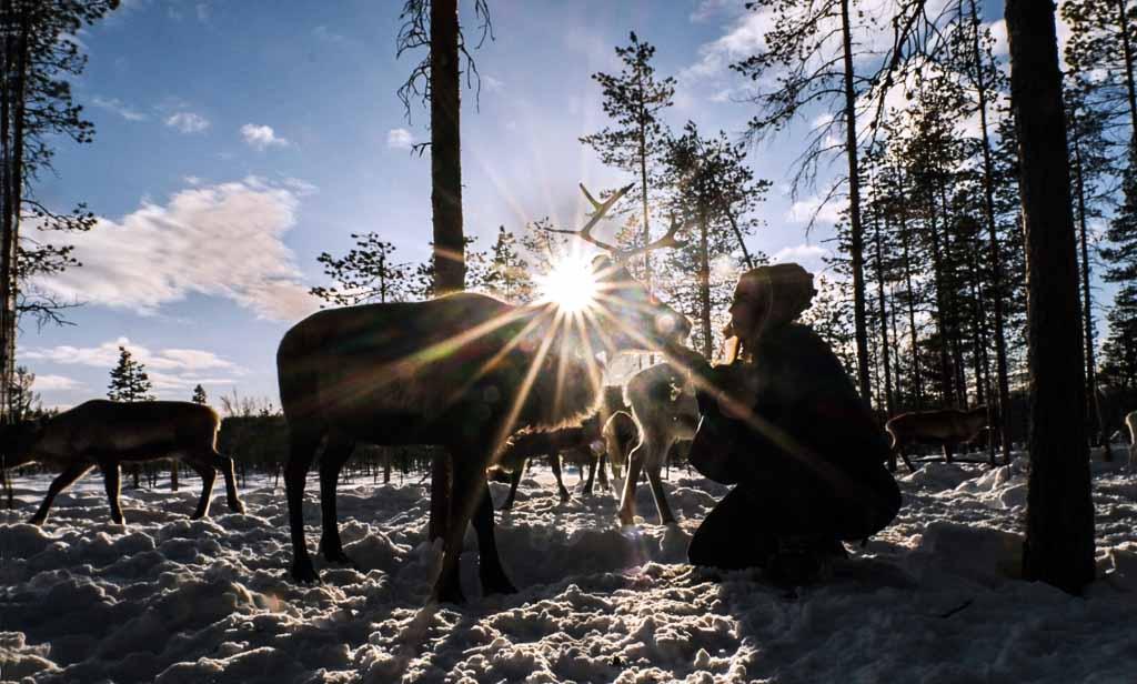 Lapponia-svedese-renne