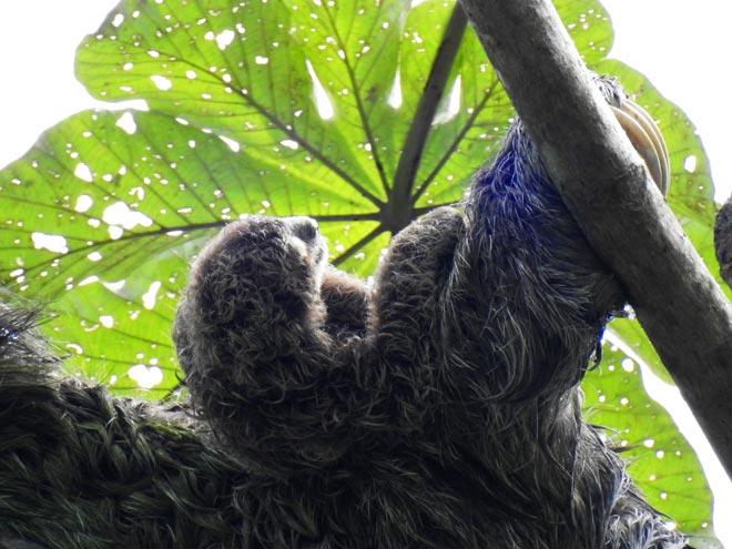 Bradipo Costa Rica
