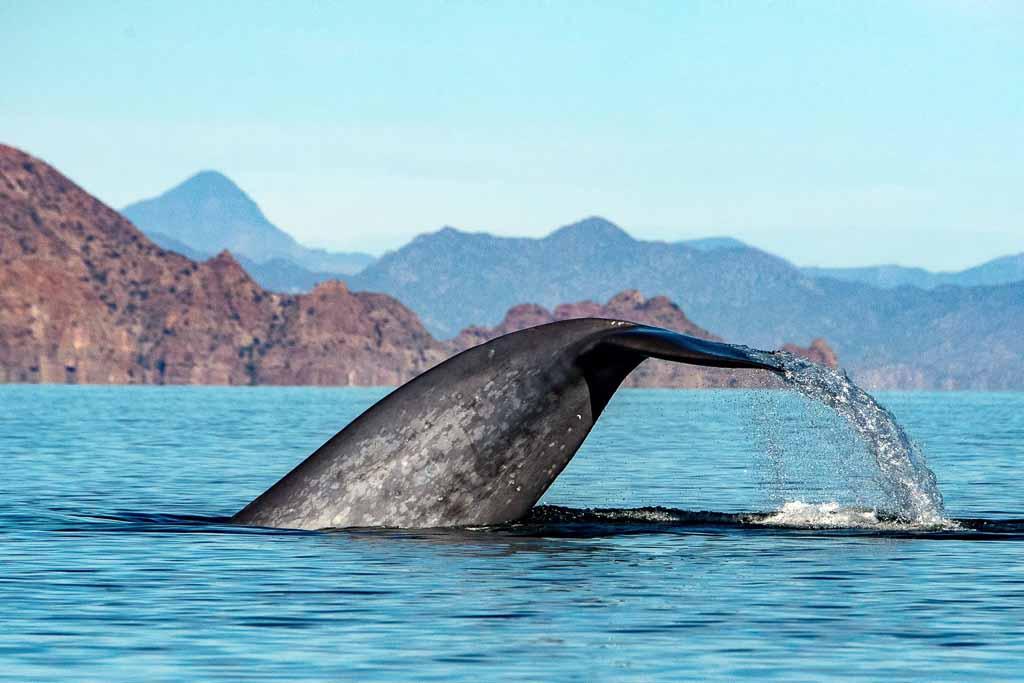 baja-california-balenottera-azzurra
