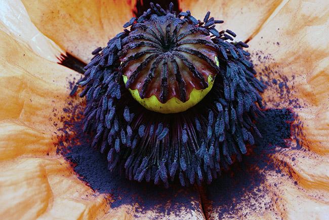 Macro fotografia dei pistilli di un fiore di papavero
