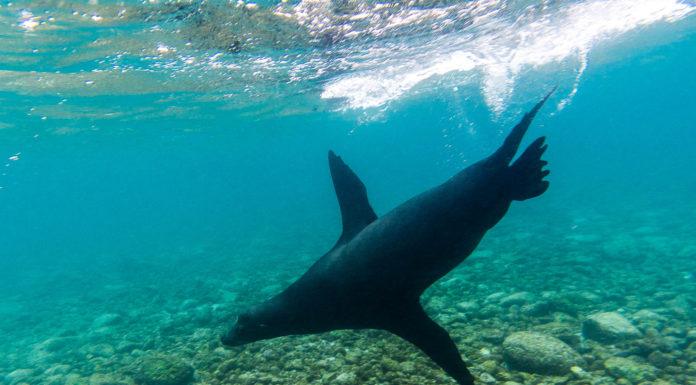Leone marino, Galapagos,Ecuador