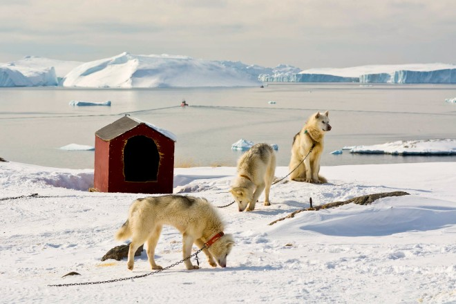 Greenland dogs and Disko Bay in the background.