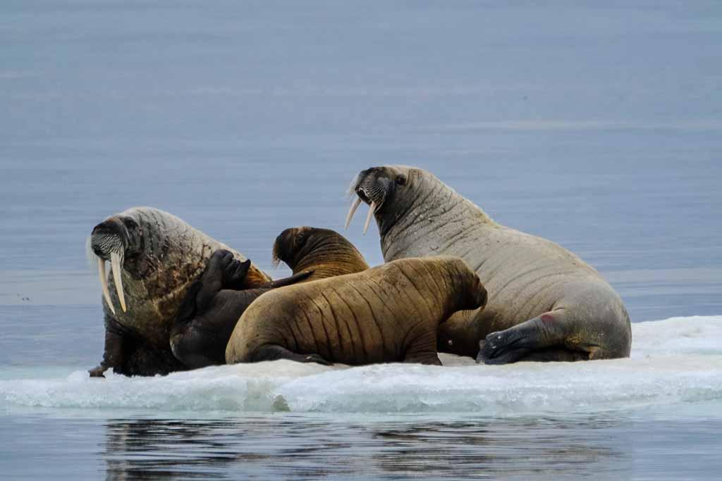 svalbard-tricheco-ghiaccio