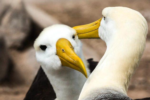 Albatros, Galapagos, Ecuador