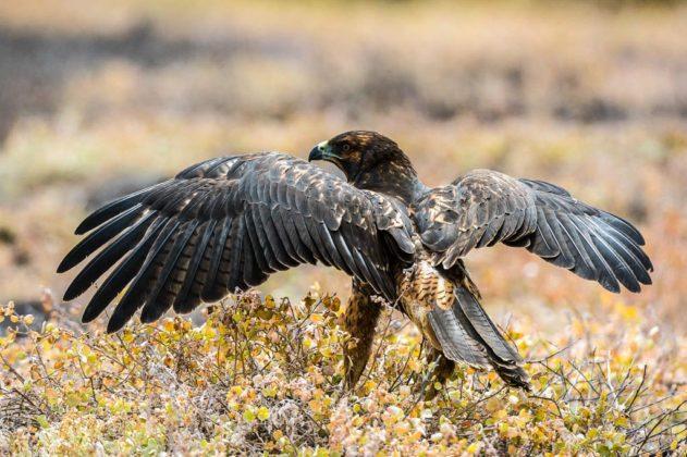 Falco, Galapagos, Ecuador