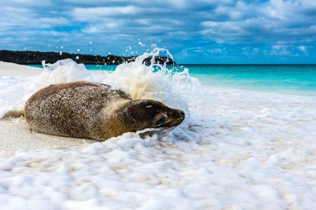 Leone marino, Galapagos, Ecuador