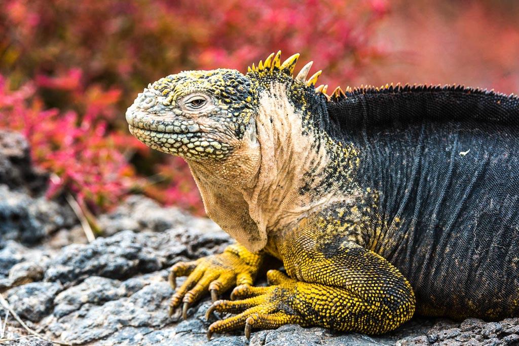 Iguana di terra, Galapagos, Ecuador