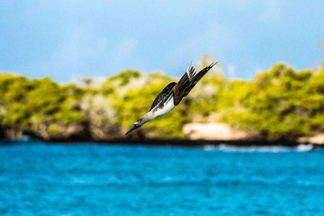 Sula, Galapagos, Ecuador