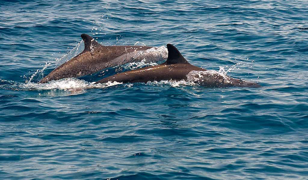 maldive-delfini