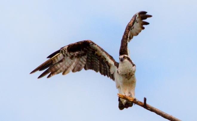 Falco pescatore sul lago Arenal in Costa Rica