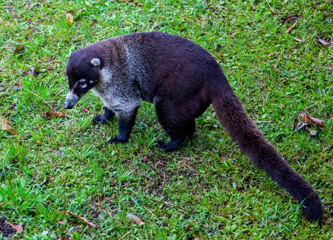 Coatis Costa Rica