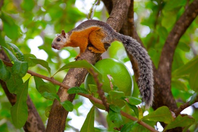 Ardilla Costa Rica