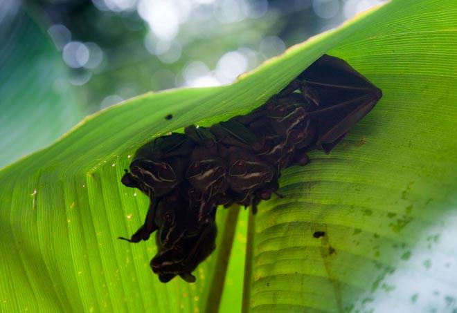 Costa Rica Famiglia di pipistrelli al Parco Manuel Antonio