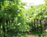 Gambellara: un weekend fra grandi vini, baccalà e rarità geologiche