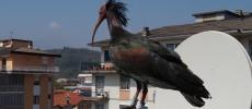Il ritorno dell'Ibis Eremita