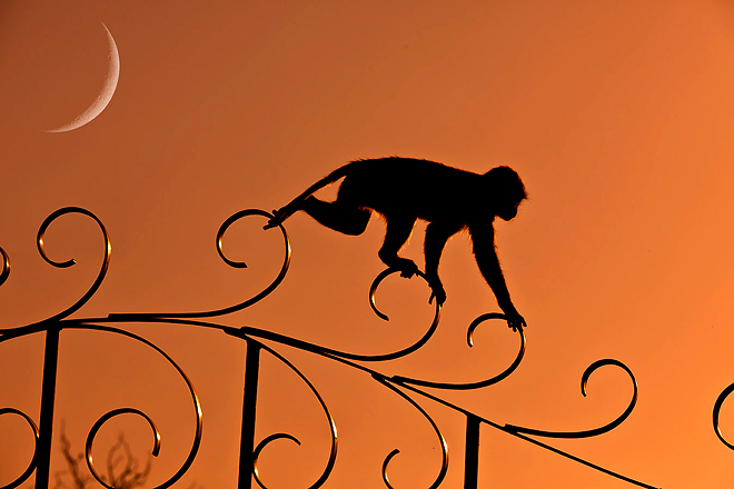 un cercopiteco al Tempio Galtaji, è conosciuto comeTempio delle scimmie e si trova a pochi chilometri da Jaipur
