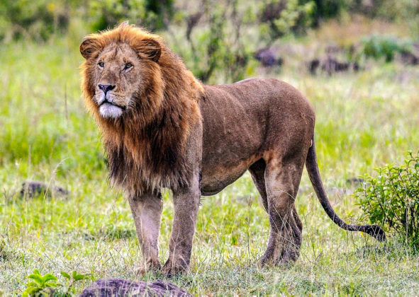 kenya-leone
