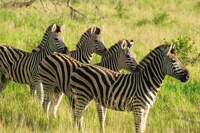 Zebre nel Kruger National Park