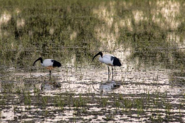 Risaie-Lomellina-ibis
