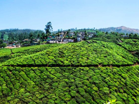 india Munnar Piantagioni di te