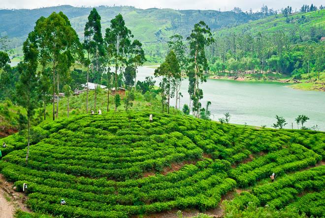 Asia, Sri Lanka, Bogawantalawa Valley, Ceylon Tea Trails, Piantagioni di té e il Castlereagh Reservoir Tea plantations on the Castlereagh Reservoir banks, Ceylon Tea Trails, Bogawantalawa Valley, Sri Lanka, Asia