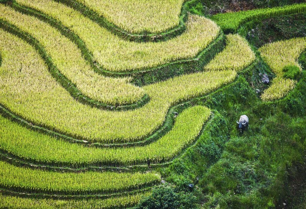 Vietnam-risaie