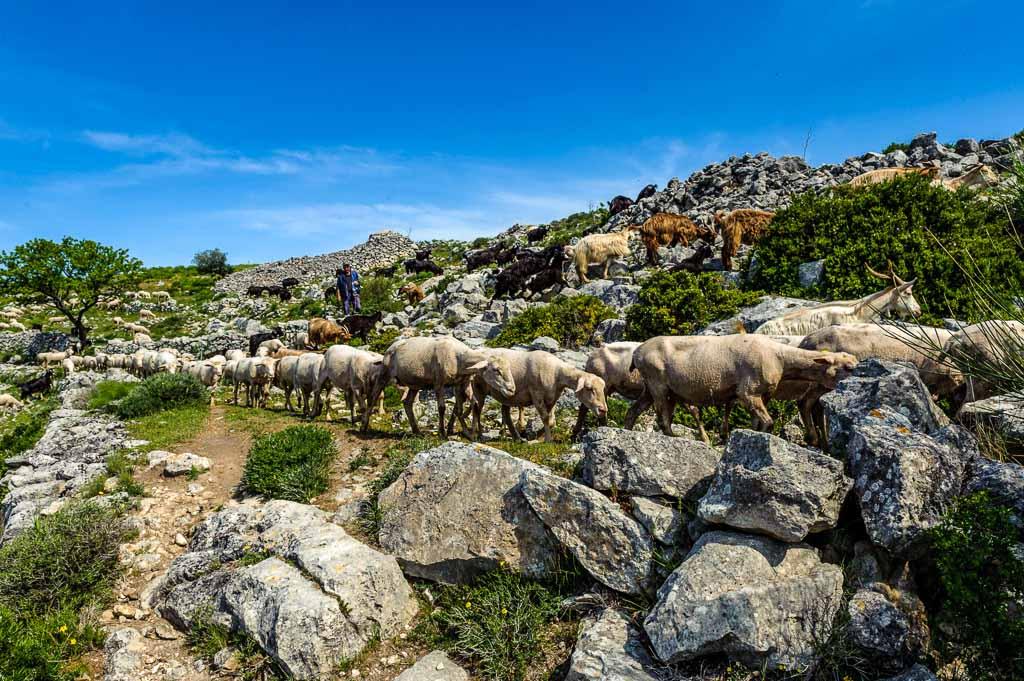 salento-pecore-pascolo