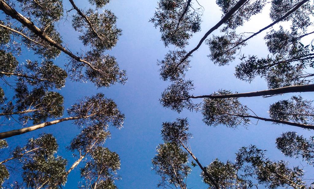 portogallo-eucalipti