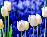 Keukenhof, il fior fiore d'Olanda