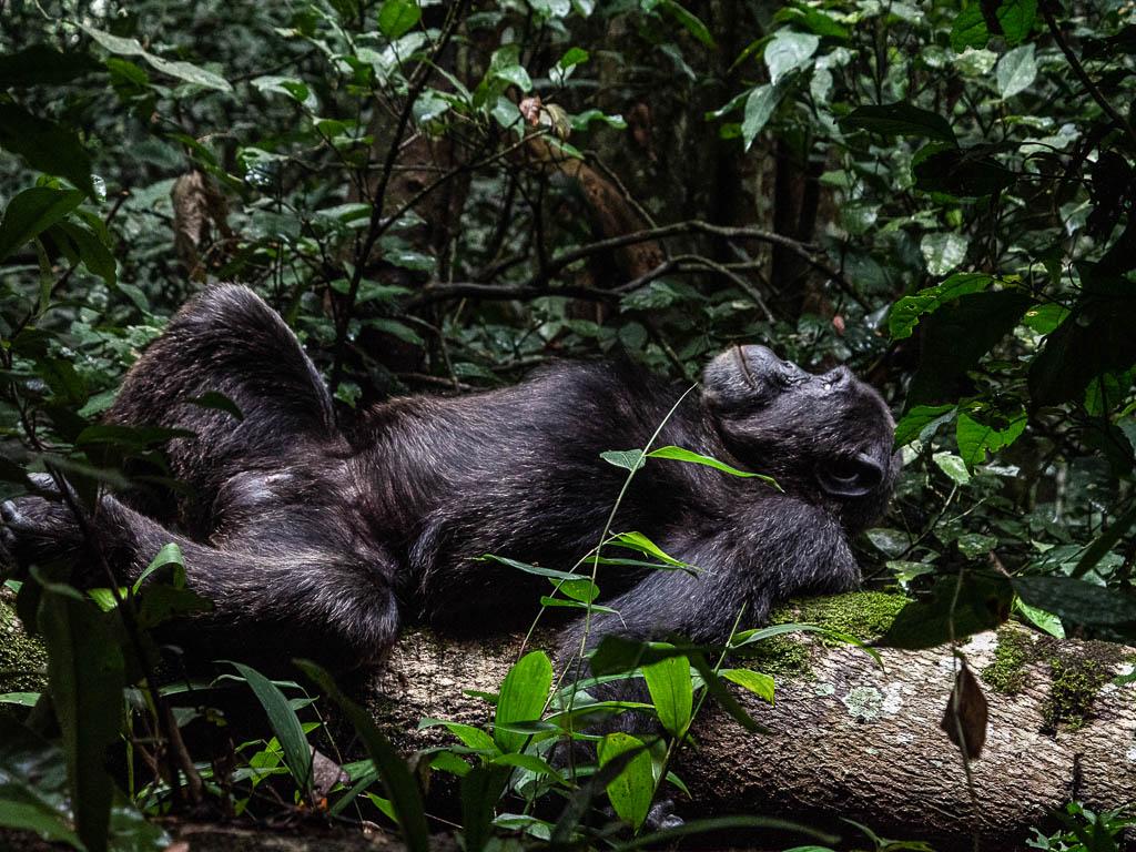 Africa-Uganda-Scimpanzé