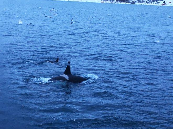 Balene Tromso Norvegia