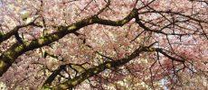 I ciliegi in fiore, dove ammirarli non solo in Giappone