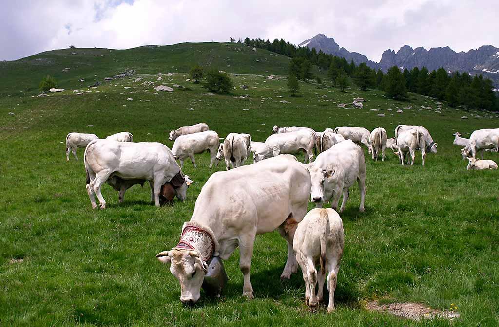 bovini-razza-piemontese-salita-in-alpeggio