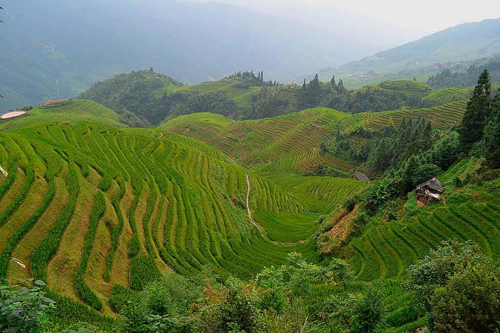 cina-longshen-risaie