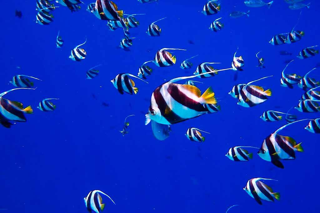maldive-pesce-angelo